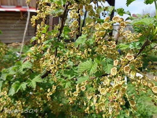 Решила пофотографировать как цветут деревья и кустарники... вот такие цветы на груше - обратите внимание - тычинки красно-розового цвета.... фото 8