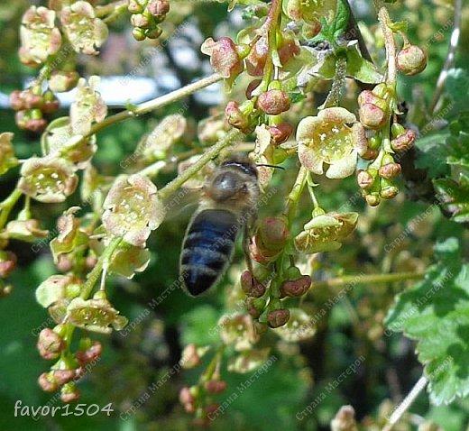 Решила пофотографировать как цветут деревья и кустарники... вот такие цветы на груше - обратите внимание - тычинки красно-розового цвета.... фото 9