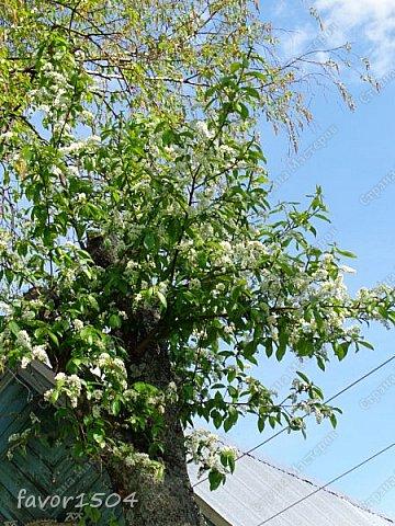 Решила пофотографировать как цветут деревья и кустарники... вот такие цветы на груше - обратите внимание - тычинки красно-розового цвета.... фото 25
