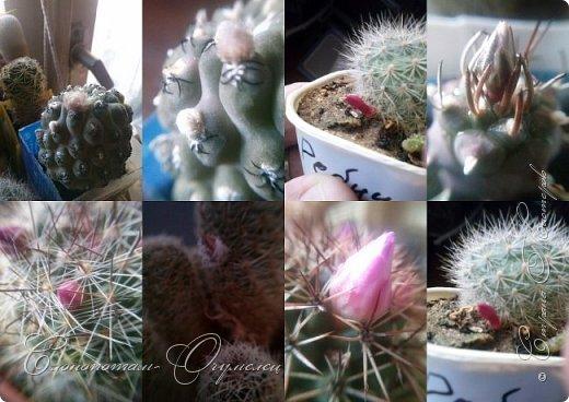 Доброго времени суток, Страна! Продолжаю свои прямые репортажи с места событий - цветение моих любимых кактусят. В этой подборке сделал коллажи из фотографий, так как фото много, а по опыту знаю, что много фото утомляет. На этом коллаже кактус Turbinicarpus polaskii. фото 6