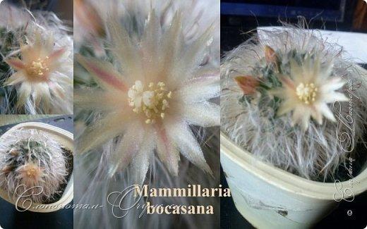 Доброго времени суток, Страна! Продолжаю свои прямые репортажи с места событий - цветение моих любимых кактусят. В этой подборке сделал коллажи из фотографий, так как фото много, а по опыту знаю, что много фото утомляет. На этом коллаже кактус Turbinicarpus polaskii. фото 2