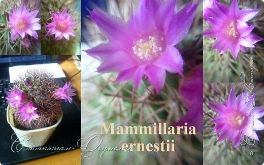 Доброго времени суток, Страна! Продолжаю свои прямые репортажи с места событий - цветение моих любимых кактусят. В этой подборке сделал коллажи из фотографий, так как фото много, а по опыту знаю, что много фото утомляет. На этом коллаже кактус Turbinicarpus polaskii. фото 3