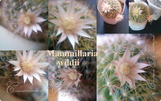 Доброго времени суток, Страна! Продолжаю свои прямые репортажи с места событий - цветение моих любимых кактусят. В этой подборке сделал коллажи из фотографий, так как фото много, а по опыту знаю, что много фото утомляет. На этом коллаже кактус Turbinicarpus polaskii. фото 4