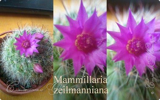 Доброго времени суток, Страна! Продолжаю свои прямые репортажи с места событий - цветение моих любимых кактусят. В этой подборке сделал коллажи из фотографий, так как фото много, а по опыту знаю, что много фото утомляет. На этом коллаже кактус Turbinicarpus polaskii. фото 5