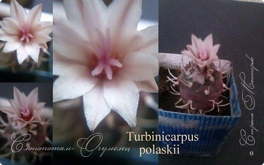Доброго времени суток, Страна! Продолжаю свои прямые репортажи с места событий - цветение моих любимых кактусят. В этой подборке сделал коллажи из фотографий, так как фото много, а по опыту знаю, что много фото утомляет. На этом коллаже кактус Turbinicarpus polaskii. фото 1