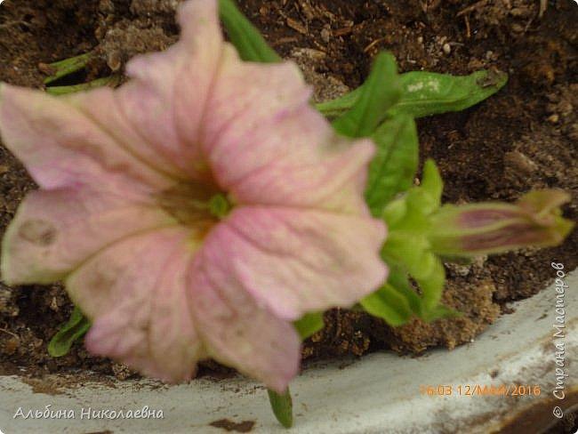 Здравствуйте дорогие мастера и мастерицы! Вот и зацвели мои петунии, посеянные в феврале, об этом я писала тут http://stranamasterov.ru/node/1000888 Пока только единичные цветы, но они зацвели и давайте посмотрим этот великолепный, не требующих особых условий цветок фото 5