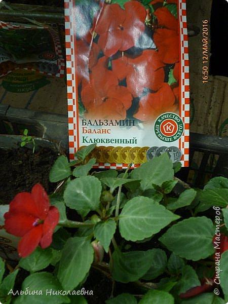Здравствуйте дорогие мастера и мастерицы! Вот и зацвели мои петунии, посеянные в феврале, об этом я писала тут https://stranamasterov.ru/node/1000888 Пока только единичные цветы, но они зацвели и давайте посмотрим этот великолепный, не требующих особых условий цветок фото 13