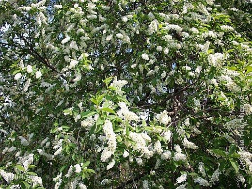 Для  городских жителей нашей Страны, которые не имеют возможности летом жить на даче - этот мой фоторяд цветущей черёмухи. Чудесное время: прилетают соловьи и начинается буйство цветения черёмухи. На моём участке в деревне черёмух около десятка. Это дерево самое большое. И самое нарядное. фото 17
