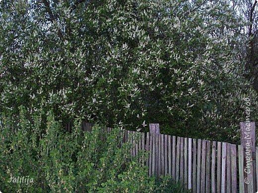 Для  городских жителей нашей Страны, которые не имеют возможности летом жить на даче - этот мой фоторяд цветущей черёмухи. Чудесное время: прилетают соловьи и начинается буйство цветения черёмухи. На моём участке в деревне черёмух около десятка. Это дерево самое большое. И самое нарядное. фото 18