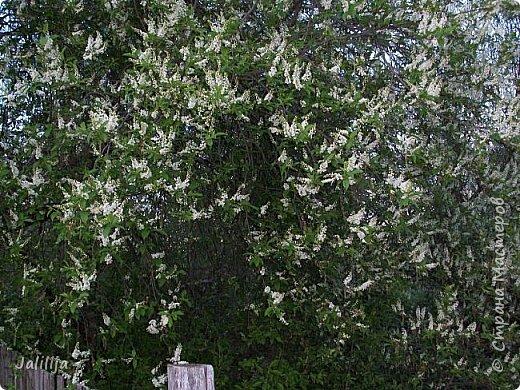 Для  городских жителей нашей Страны, которые не имеют возможности летом жить на даче - этот мой фоторяд цветущей черёмухи. Чудесное время: прилетают соловьи и начинается буйство цветения черёмухи. На моём участке в деревне черёмух около десятка. Это дерево самое большое. И самое нарядное. фото 19