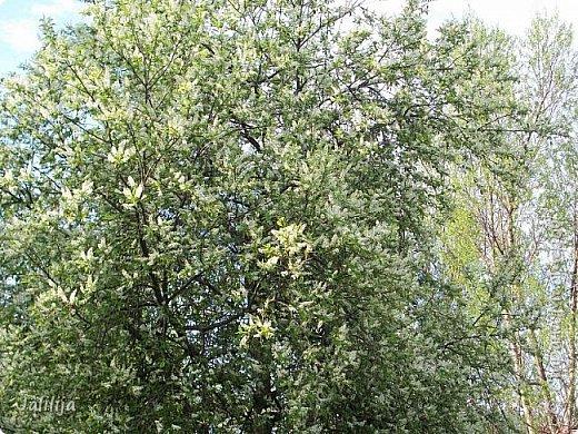 Для  городских жителей нашей Страны, которые не имеют возможности летом жить на даче - этот мой фоторяд цветущей черёмухи. Чудесное время: прилетают соловьи и начинается буйство цветения черёмухи. На моём участке в деревне черёмух около десятка. Это дерево самое большое. И самое нарядное. фото 20