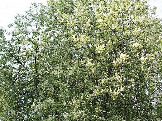 Для  городских жителей нашей Страны, которые не имеют возможности летом жить на даче - этот мой фоторяд цветущей черёмухи. Чудесное время: прилетают соловьи и начинается буйство цветения черёмухи. На моём участке в деревне черёмух около десятка. Это дерево самое большое. И самое нарядное. фото 21