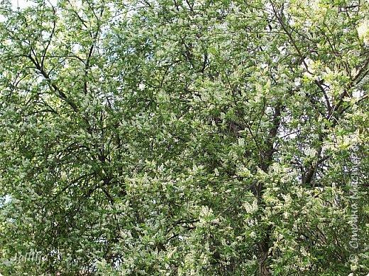 Для  городских жителей нашей Страны, которые не имеют возможности летом жить на даче - этот мой фоторяд цветущей черёмухи. Чудесное время: прилетают соловьи и начинается буйство цветения черёмухи. На моём участке в деревне черёмух около десятка. Это дерево самое большое. И самое нарядное. фото 22