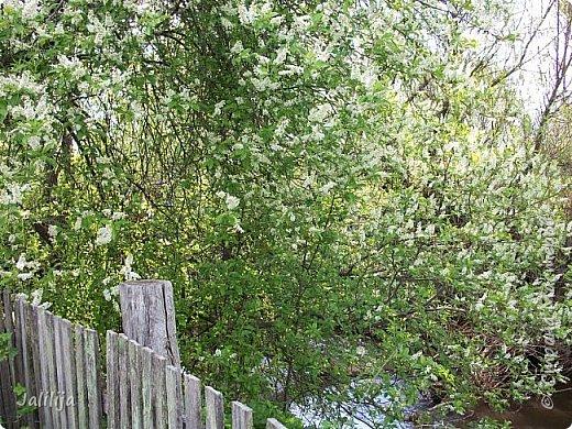 Для  городских жителей нашей Страны, которые не имеют возможности летом жить на даче - этот мой фоторяд цветущей черёмухи. Чудесное время: прилетают соловьи и начинается буйство цветения черёмухи. На моём участке в деревне черёмух около десятка. Это дерево самое большое. И самое нарядное. фото 25