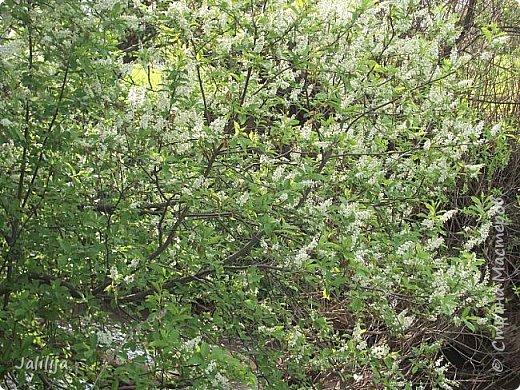 Для  городских жителей нашей Страны, которые не имеют возможности летом жить на даче - этот мой фоторяд цветущей черёмухи. Чудесное время: прилетают соловьи и начинается буйство цветения черёмухи. На моём участке в деревне черёмух около десятка. Это дерево самое большое. И самое нарядное. фото 3