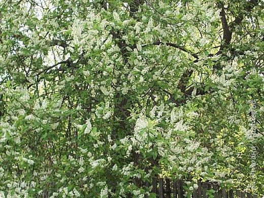 Для  городских жителей нашей Страны, которые не имеют возможности летом жить на даче - этот мой фоторяд цветущей черёмухи. Чудесное время: прилетают соловьи и начинается буйство цветения черёмухи. На моём участке в деревне черёмух около десятка. Это дерево самое большое. И самое нарядное. фото 4