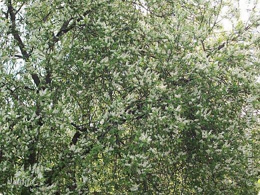 Для  городских жителей нашей Страны, которые не имеют возможности летом жить на даче - этот мой фоторяд цветущей черёмухи. Чудесное время: прилетают соловьи и начинается буйство цветения черёмухи. На моём участке в деревне черёмух около десятка. Это дерево самое большое. И самое нарядное. фото 5