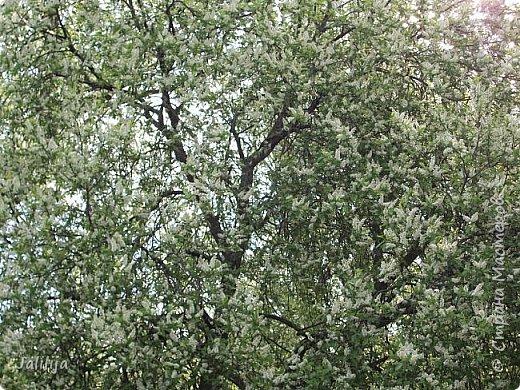Для  городских жителей нашей Страны, которые не имеют возможности летом жить на даче - этот мой фоторяд цветущей черёмухи. Чудесное время: прилетают соловьи и начинается буйство цветения черёмухи. На моём участке в деревне черёмух около десятка. Это дерево самое большое. И самое нарядное. фото 6
