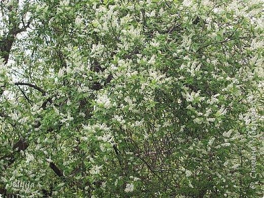 Для  городских жителей нашей Страны, которые не имеют возможности летом жить на даче - этот мой фоторяд цветущей черёмухи. Чудесное время: прилетают соловьи и начинается буйство цветения черёмухи. На моём участке в деревне черёмух около десятка. Это дерево самое большое. И самое нарядное. фото 7