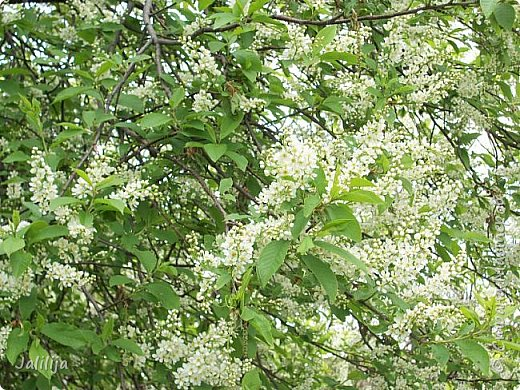 Для  городских жителей нашей Страны, которые не имеют возможности летом жить на даче - этот мой фоторяд цветущей черёмухи. Чудесное время: прилетают соловьи и начинается буйство цветения черёмухи. На моём участке в деревне черёмух около десятка. Это дерево самое большое. И самое нарядное. фото 9