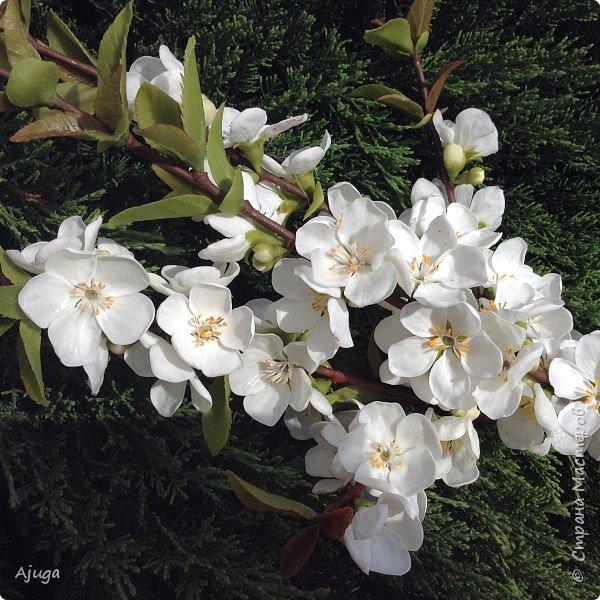 Цветущий хеномелес или Японская айва из холодного фарфора. фото 15