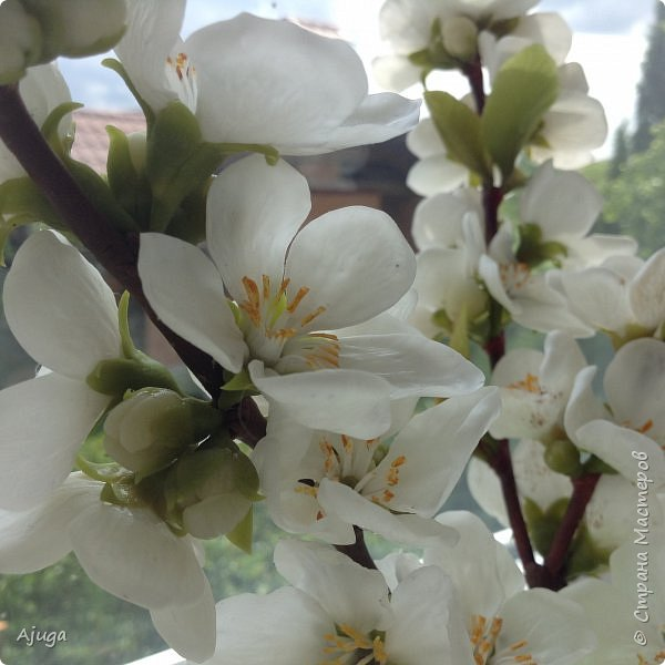 Цветущий хеномелес или Японская айва из холодного фарфора. фото 16