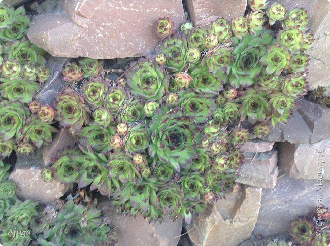 Продолжение...Прогулка по моему саду... фото 4