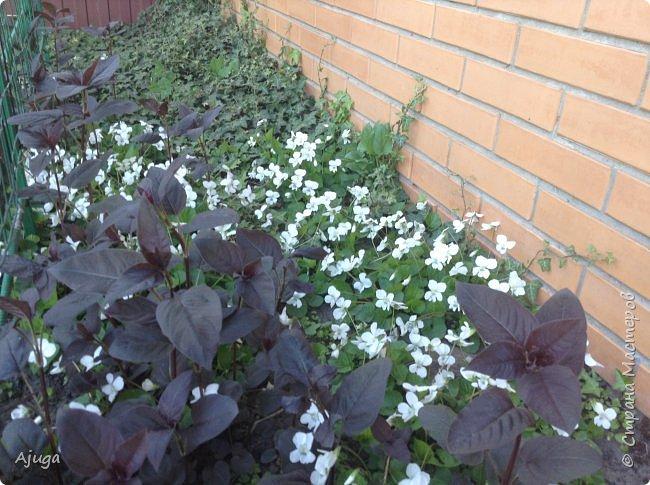 Продолжение...Прогулка по моему саду... фото 10