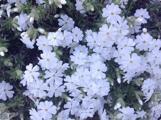 Продолжение...Прогулка по моему саду... фото 11