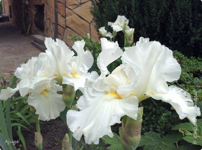 Продолжение...Прогулка по моему саду... фото 15