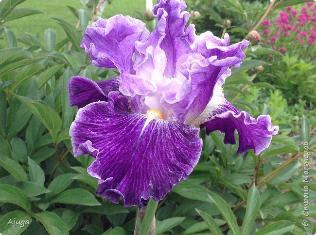 Продолжение...Прогулка по моему саду... фото 16