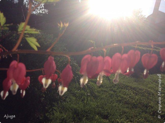 Продолжение...Прогулка по моему саду... фото 17