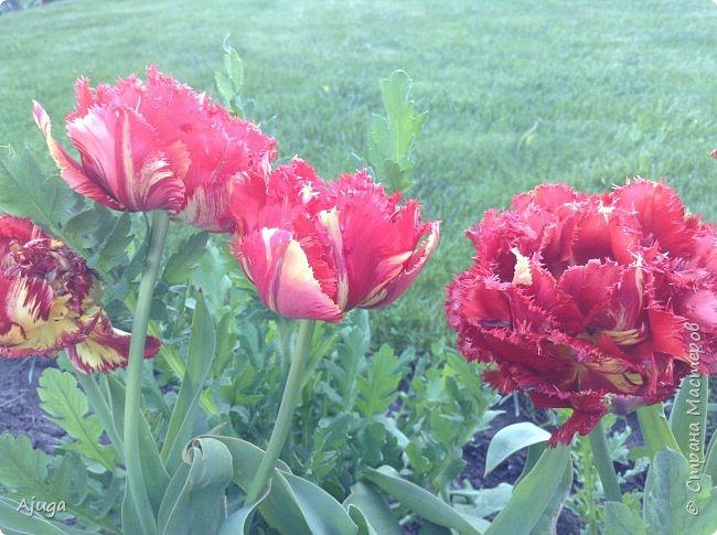 Продолжение...Прогулка по моему саду... фото 18