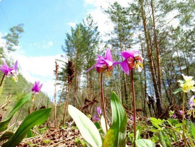 Это Иоанн Кронштадтский, святой праведник, сказал, что цветы – остатки рая на земле. И разве нельзя назвать райским местом этот родник в Бешпельтирском логу? У нас, в Горном Алтае, такая красота повсюду. И я приглашаю вас на неспешную прогулку по цветущему Алтаю. фото 39