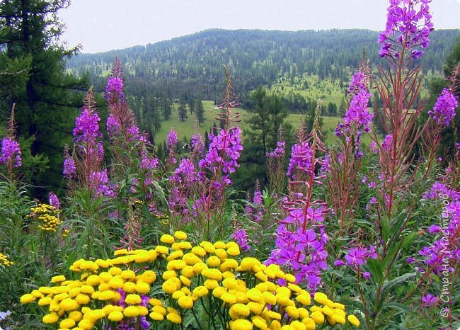 Это Иоанн Кронштадтский, святой праведник, сказал, что цветы – остатки рая на земле. И разве нельзя назвать райским местом этот родник в Бешпельтирском логу? У нас, в Горном Алтае, такая красота повсюду. И я приглашаю вас на неспешную прогулку по цветущему Алтаю. фото 67