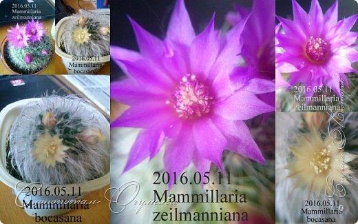Доброго времени суток, сограждане и согражданки! Продолжаю свои прямые фоторепортажи с места события. Новые виды кактусов набирают цвет, выпускают бутоны. И те, что уже давали цветки, тоже дают бутоны. На этом фото бутон кактуса Mammillaria zeilmanniana. Уже несколько цветков было, ещё даёт бутоны. Обратите внимание на колючки, загнутые на конце крючком. Я пару раз цеплялся за эти колючки, впечатление от этого не самые приятные -:) фото 11