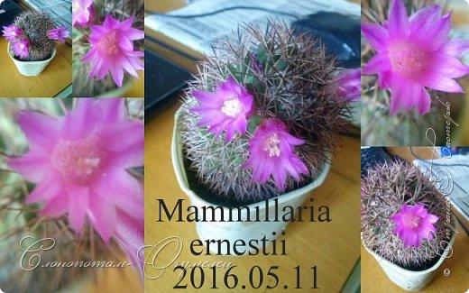 Доброго времени суток, сограждане и согражданки! Продолжаю свои прямые фоторепортажи с места события. Новые виды кактусов набирают цвет, выпускают бутоны. И те, что уже давали цветки, тоже дают бутоны. На этом фото бутон кактуса Mammillaria zeilmanniana. Уже несколько цветков было, ещё даёт бутоны. Обратите внимание на колючки, загнутые на конце крючком. Я пару раз цеплялся за эти колючки, впечатление от этого не самые приятные -:) фото 12