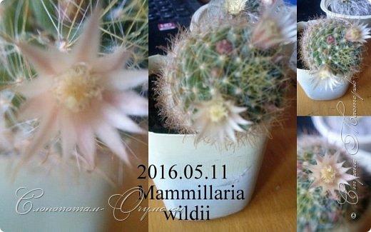 Доброго времени суток, сограждане и согражданки! Продолжаю свои прямые фоторепортажи с места события. Новые виды кактусов набирают цвет, выпускают бутоны. И те, что уже давали цветки, тоже дают бутоны. На этом фото бутон кактуса Mammillaria zeilmanniana. Уже несколько цветков было, ещё даёт бутоны. Обратите внимание на колючки, загнутые на конце крючком. Я пару раз цеплялся за эти колючки, впечатление от этого не самые приятные -:) фото 13