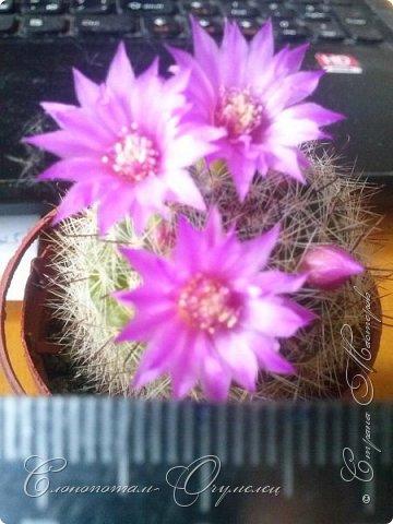 Доброго времени суток, сограждане и согражданки! Продолжаю свои прямые фоторепортажи с места события. Новые виды кактусов набирают цвет, выпускают бутоны. И те, что уже давали цветки, тоже дают бутоны. На этом фото бутон кактуса Mammillaria zeilmanniana. Уже несколько цветков было, ещё даёт бутоны. Обратите внимание на колючки, загнутые на конце крючком. Я пару раз цеплялся за эти колючки, впечатление от этого не самые приятные -:) фото 15