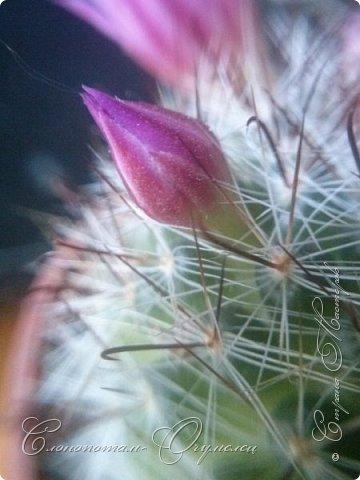 Доброго времени суток, сограждане и согражданки! Продолжаю свои прямые фоторепортажи с места события. Новые виды кактусов набирают цвет, выпускают бутоны. И те, что уже давали цветки, тоже дают бутоны. На этом фото бутон кактуса Mammillaria zeilmanniana. Уже несколько цветков было, ещё даёт бутоны. Обратите внимание на колючки, загнутые на конце крючком. Я пару раз цеплялся за эти колючки, впечатление от этого не самые приятные -:) фото 1