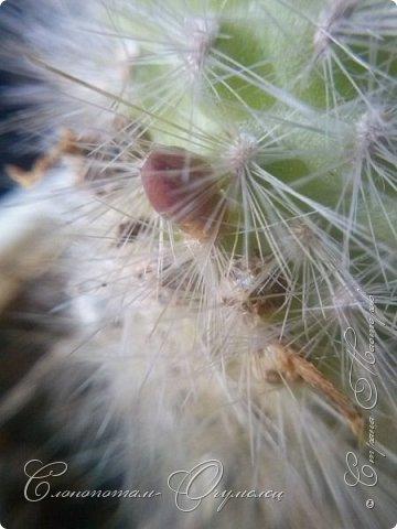 Доброго времени суток, сограждане и согражданки! Продолжаю свои прямые фоторепортажи с места события. Новые виды кактусов набирают цвет, выпускают бутоны. И те, что уже давали цветки, тоже дают бутоны. На этом фото бутон кактуса Mammillaria zeilmanniana. Уже несколько цветков было, ещё даёт бутоны. Обратите внимание на колючки, загнутые на конце крючком. Я пару раз цеплялся за эти колючки, впечатление от этого не самые приятные -:) фото 5