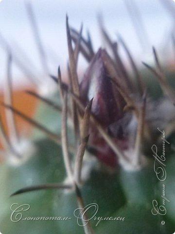 Доброго времени суток, сограждане и согражданки! Продолжаю свои прямые фоторепортажи с места события. Новые виды кактусов набирают цвет, выпускают бутоны. И те, что уже давали цветки, тоже дают бутоны. На этом фото бутон кактуса Mammillaria zeilmanniana. Уже несколько цветков было, ещё даёт бутоны. Обратите внимание на колючки, загнутые на конце крючком. Я пару раз цеплялся за эти колючки, впечатление от этого не самые приятные -:) фото 7