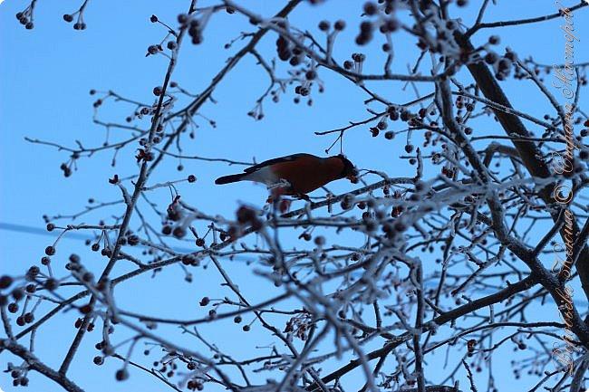 Здравствуй СМ. Давно я не выкладывала новые работы. В этот раз я снова пришла с новым фоторепортажем, который я посветила птицам.  Но,это не просто снятые на камеру птицы это те мгновения, когда они порхают в небе, расправляя свои красивые крылья или ... а впрочем вы всё сейчас увидите сами. фото 24