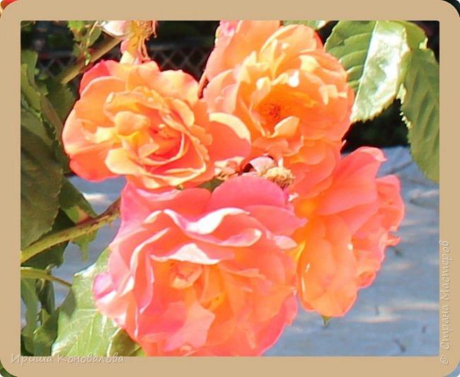 Любуюсь этой красотой и хочется поделиться с вами. Фото очень много, если не надоест, то посмотрите до конца. Там несколько фотографий из Бургаского парка. Как раз попали на выставку продажу цветов. Я не смогла пройти мимо гортензий и прочего. Хотя показываю немного. Ну и морской пейзаж с множеством небольших  парусников. Очень красивое зрелище. фото 25