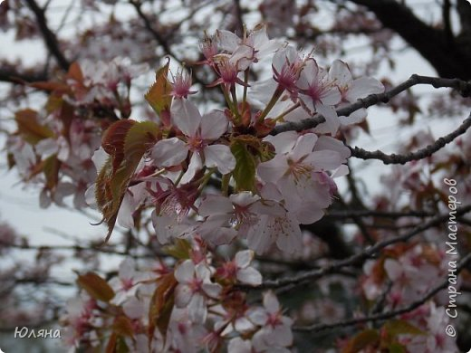 поход в Ботанический сад.......сакура фото 2