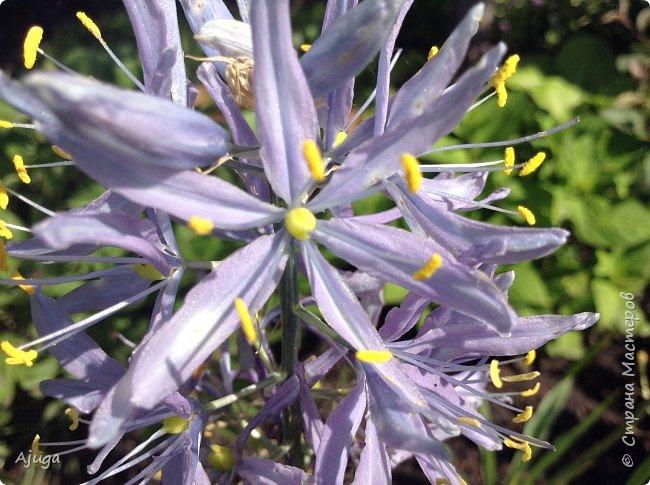 Сначала о камассии-цветонос высотой 40 -45 см., но бывают и выше. Цветы расположены вокруг цветоноса поочередно, листья в розетке длинные, узкие, цветы, как правило, срезаются без листьев.Семейство лилейных. фото 2