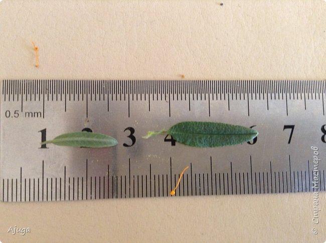 Сначала о камассии-цветонос высотой 40 -45 см., но бывают и выше. Цветы расположены вокруг цветоноса поочередно, листья в розетке длинные, узкие, цветы, как правило, срезаются без листьев.Семейство лилейных. фото 14