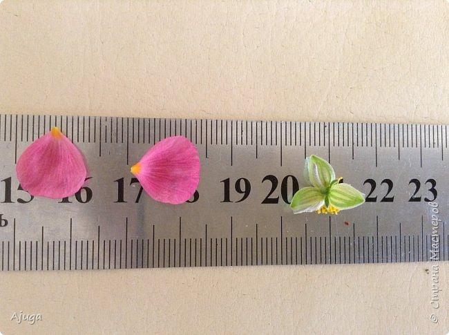 Сначала о камассии-цветонос высотой 40 -45 см., но бывают и выше. Цветы расположены вокруг цветоноса поочередно, листья в розетке длинные, узкие, цветы, как правило, срезаются без листьев.Семейство лилейных. фото 16
