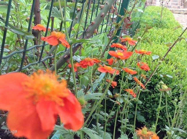 Сначала о камассии-цветонос высотой 40 -45 см., но бывают и выше. Цветы расположены вокруг цветоноса поочередно, листья в розетке длинные, узкие, цветы, как правило, срезаются без листьев.Семейство лилейных. фото 18