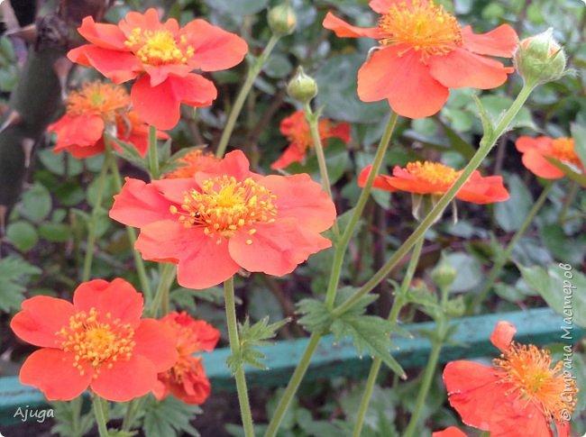 Сначала о камассии-цветонос высотой 40 -45 см., но бывают и выше. Цветы расположены вокруг цветоноса поочередно, листья в розетке длинные, узкие, цветы, как правило, срезаются без листьев.Семейство лилейных. фото 19